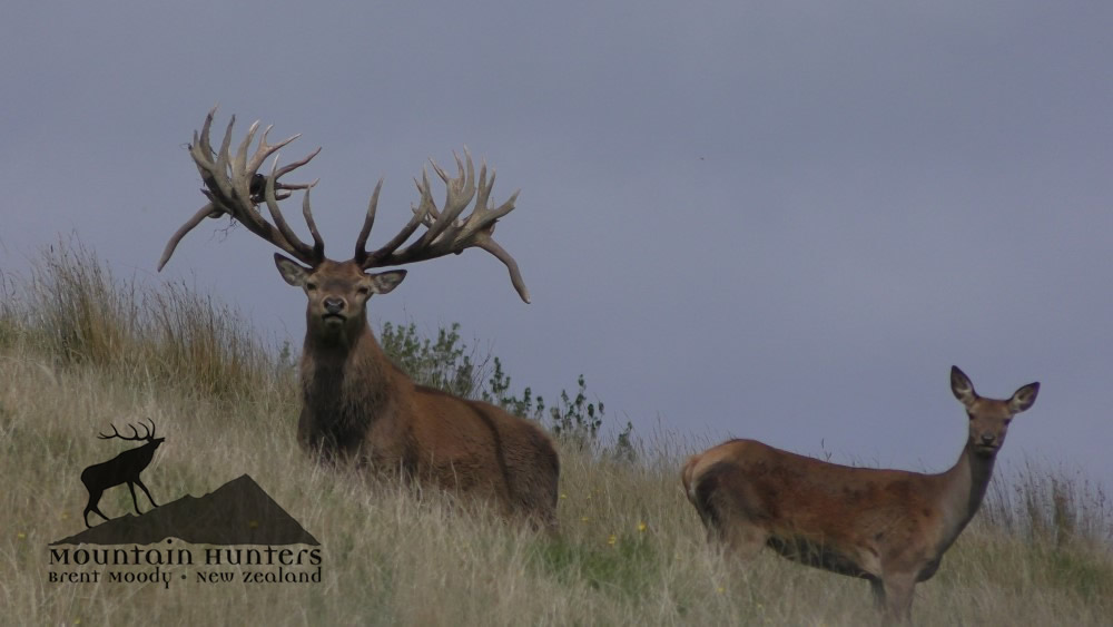600 class Red Stag available now